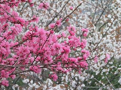 ★二重装の桜.JPG