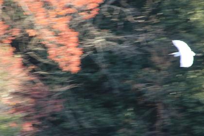 飛ぶシラサギ.JPG