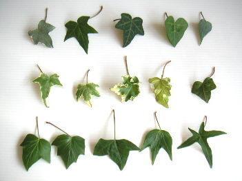 ivy3[1].jpg